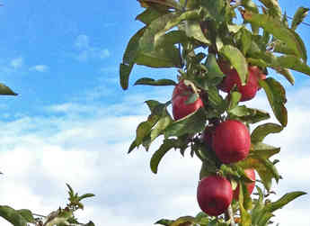 An apple tree full of ENZA™ variety, Envy apples, ready for harvest.