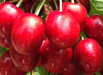 A ripe bunch of cherries ready for picking and likely to be exported to markets across the globe.