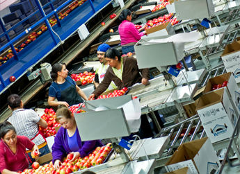 Fresh apples placed into Rainier Fruit boxes for export from Allan Brothers' distribution center.