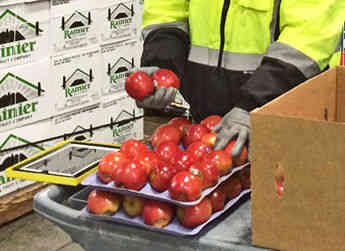 An Allan Brothers employee working in the distribution center inspects a box of fruit prior to shipment for Rainier Fruit.