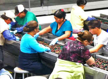 Both seasonal workers and year-round Allan Brothers employees work at the cherry sorting tables near the front of the packing line.