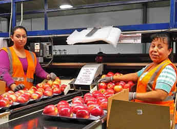 Employees work on packing an order of ENZA™ apples for export.