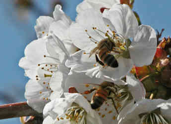 Bees pollinating cherry blossoms in Central Washington indicate the early signs of cherry packing season for Allan Brothers.
