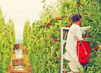 Workers in the orchards picking some of Washington's premier apples for packing.