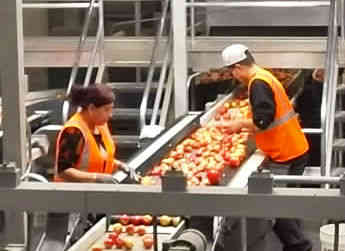 An inside look at Allan Brothers: a fruit packing company in action.