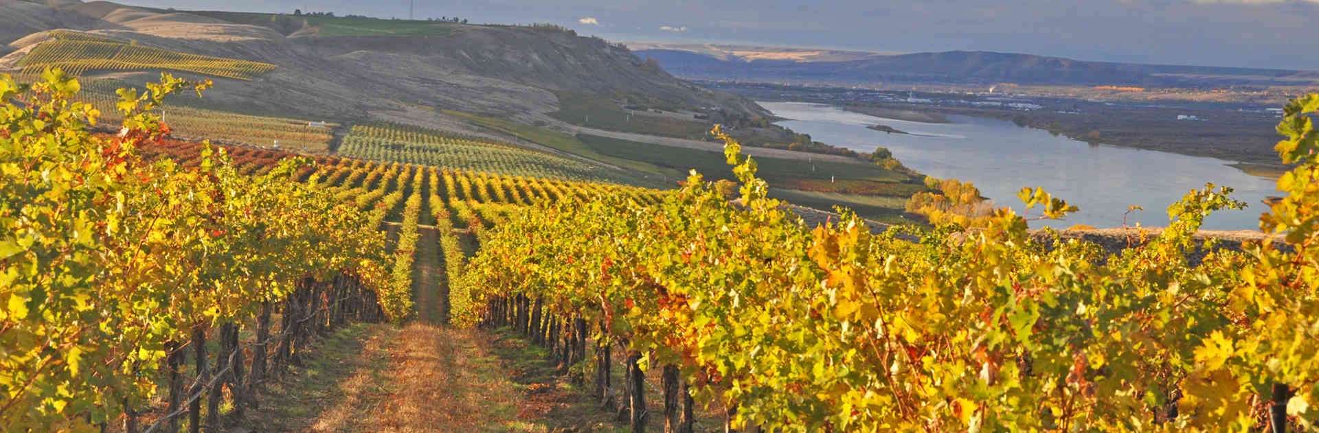 Sagemoor Vineyards' wine grapes basking in the fall sunshine of Washington State's Columbia River Valley.