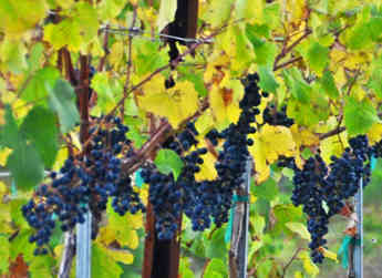Harvest quickly approaching for the wine grapes at Sagemoor.