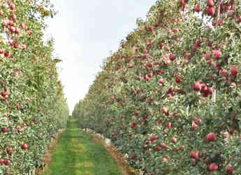 One of the many rows of Aztec Fuji apples that can be found in Yakima Valley Ochards' holdings.